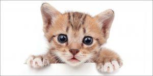 Obrázok mačičky na kvalitné detské bavlnené plážové osuške Kitten white, Jerry Fabrics